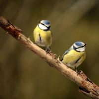 Características de los canarios